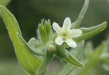 Herbarium - Prosoptičje