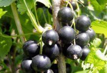 Herbarium - Ribiz crni