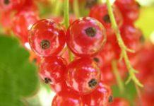 Herbarium - Ribiz crveni