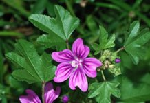 Herbarium – Sljez crni