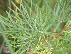 Herbarium – Božje drvce