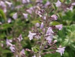 Herbarium – Bosiljak divlji