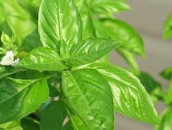 Herbarium – Bosiljak pitomi