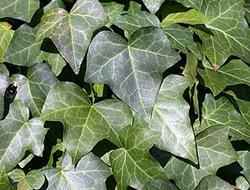Herbarium - Bršljan