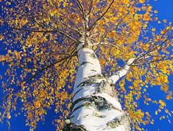 Herbarium - breza