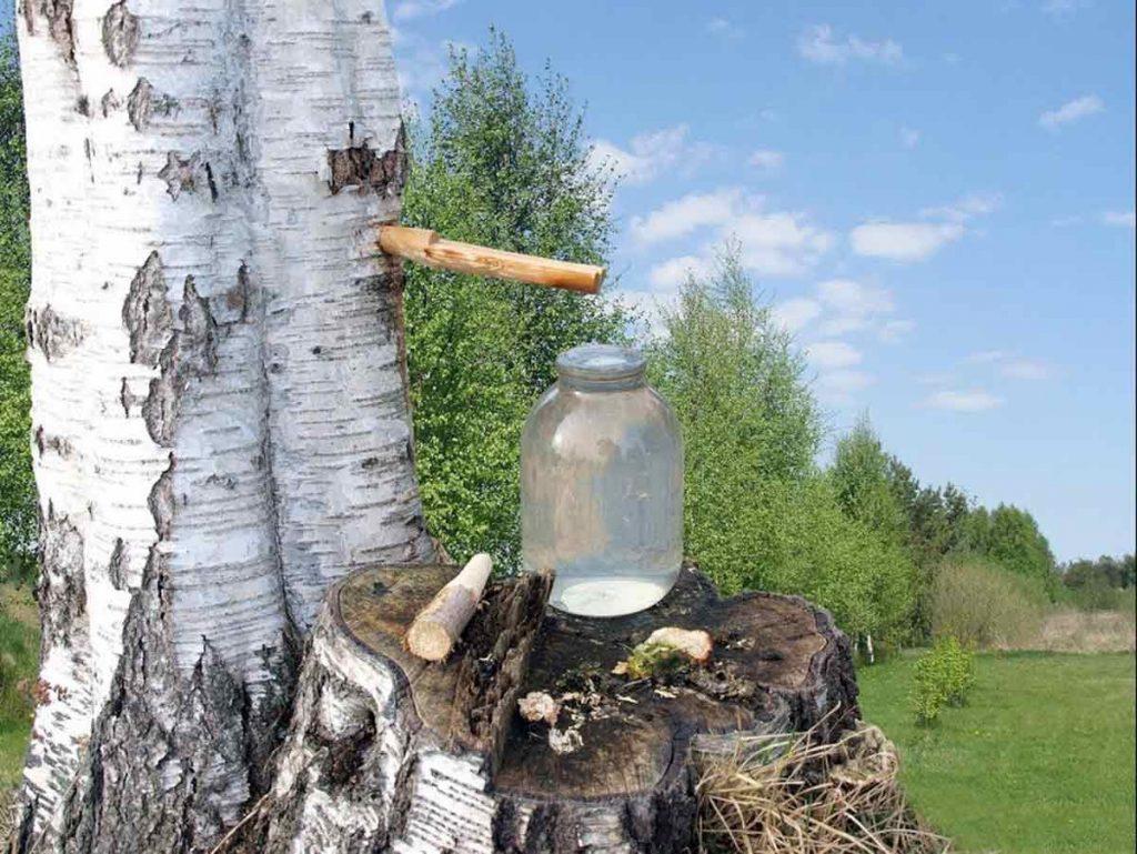 sok od breze kao lijek