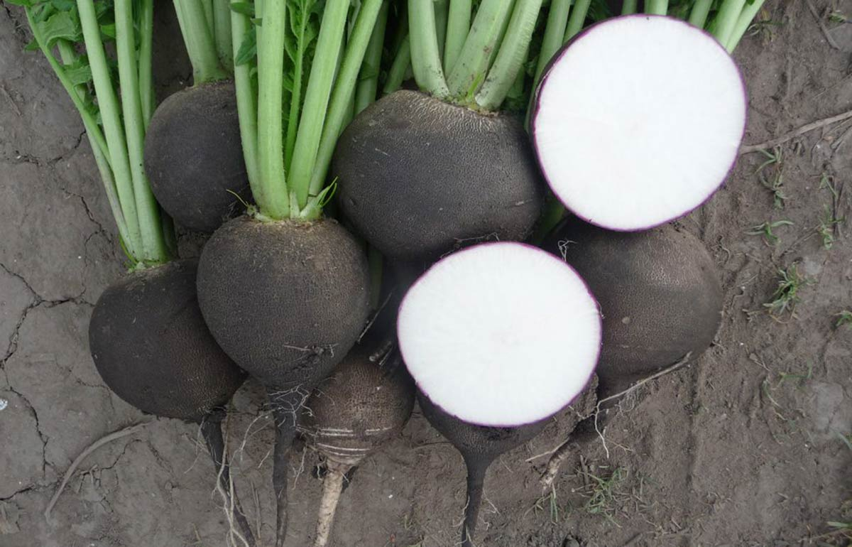 Crna rotkva čisti organizam - Sok crne rotkve izbacuje
