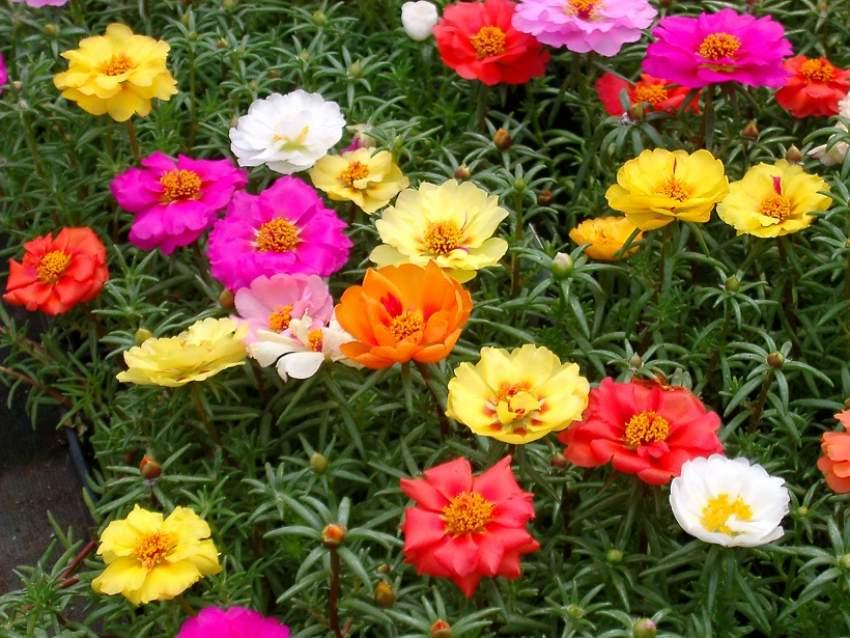 cvijeće prkos