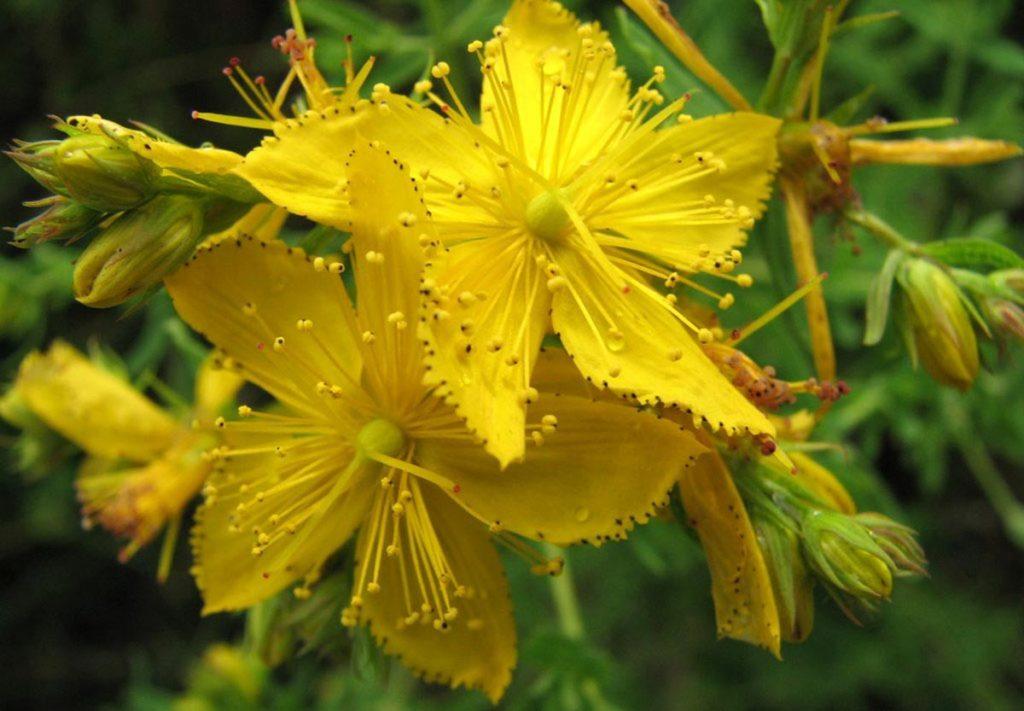 biljke protiv nesanice gospina trava