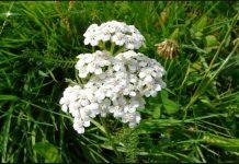 hajdučka trava