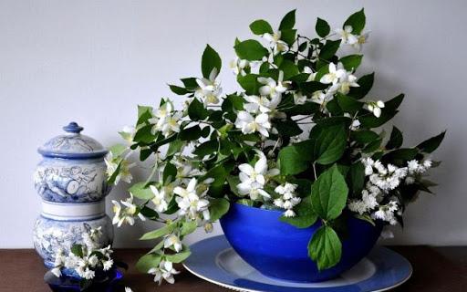 jasmin cviječe