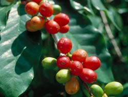 Herbarium - Kafa Arabica
