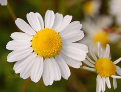 Herbarium - Kamilica