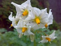 Herbarium - Krumpir