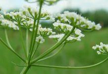 Herbarium - Kumin