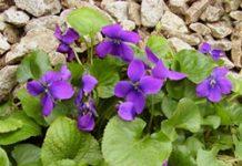 Herbarium - Ljubica