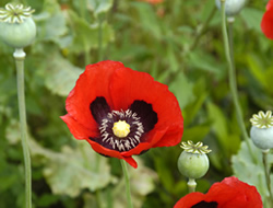 Herbarium - Mak vrtni, pitomi