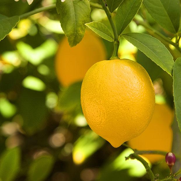 mayer limun