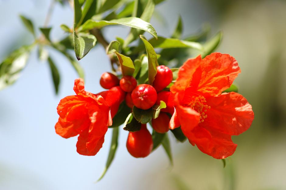 nar u cvatu